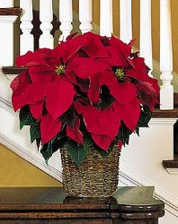 Classic Red Poinsettia